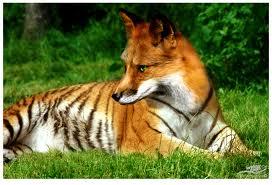 tigerfox