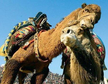 camel_wrestling.jpg