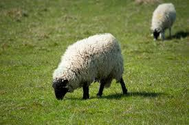 wooly_sheep.jpg