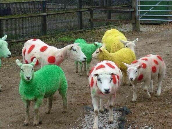 tdf-sheep.jpg