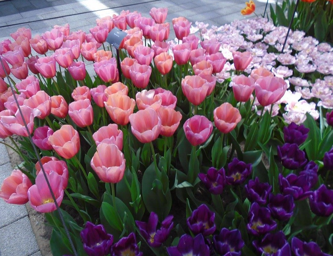 tulips_1_cropped.jpg