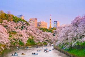 April - Chidorigafuchi park with full bloom sakura in Tokyo, Japan